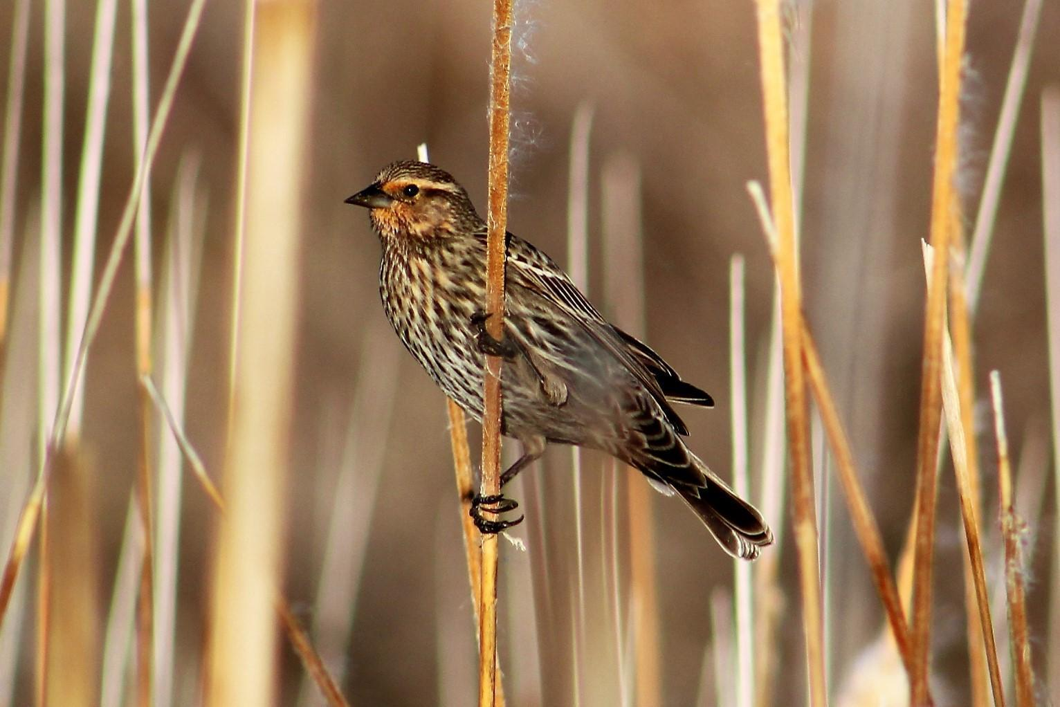 Red-winged Blackbird Photo by Tony Heindel