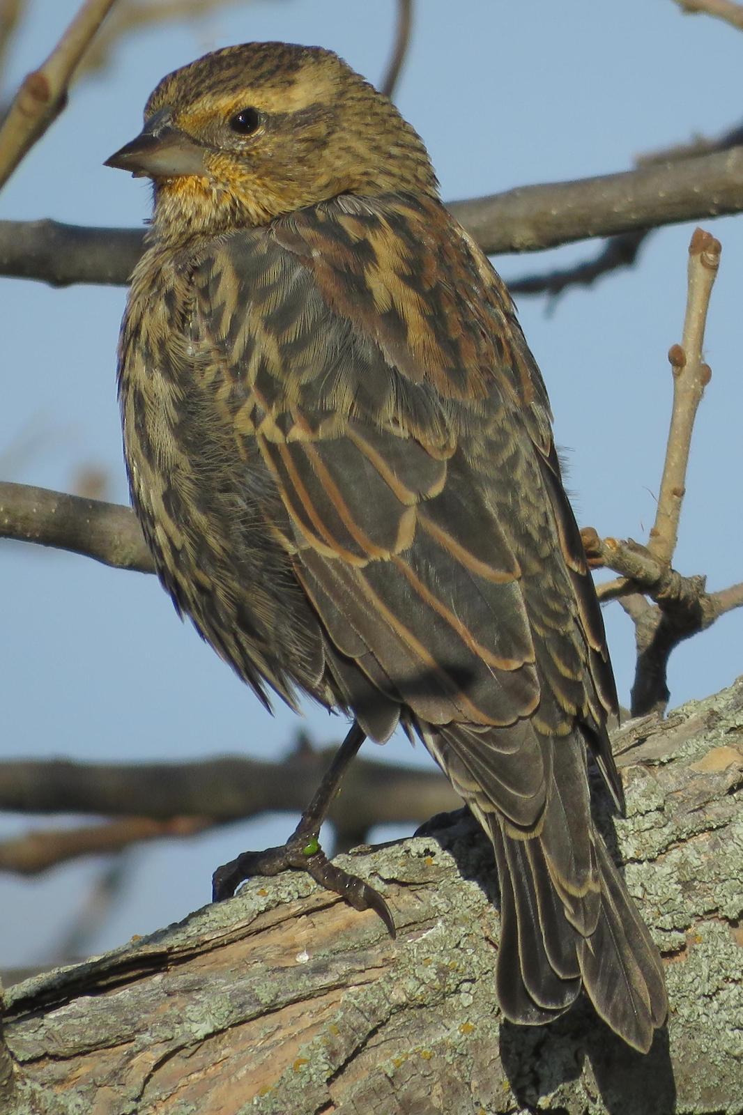 Red-winged Blackbird Photo by Bob Neugebauer