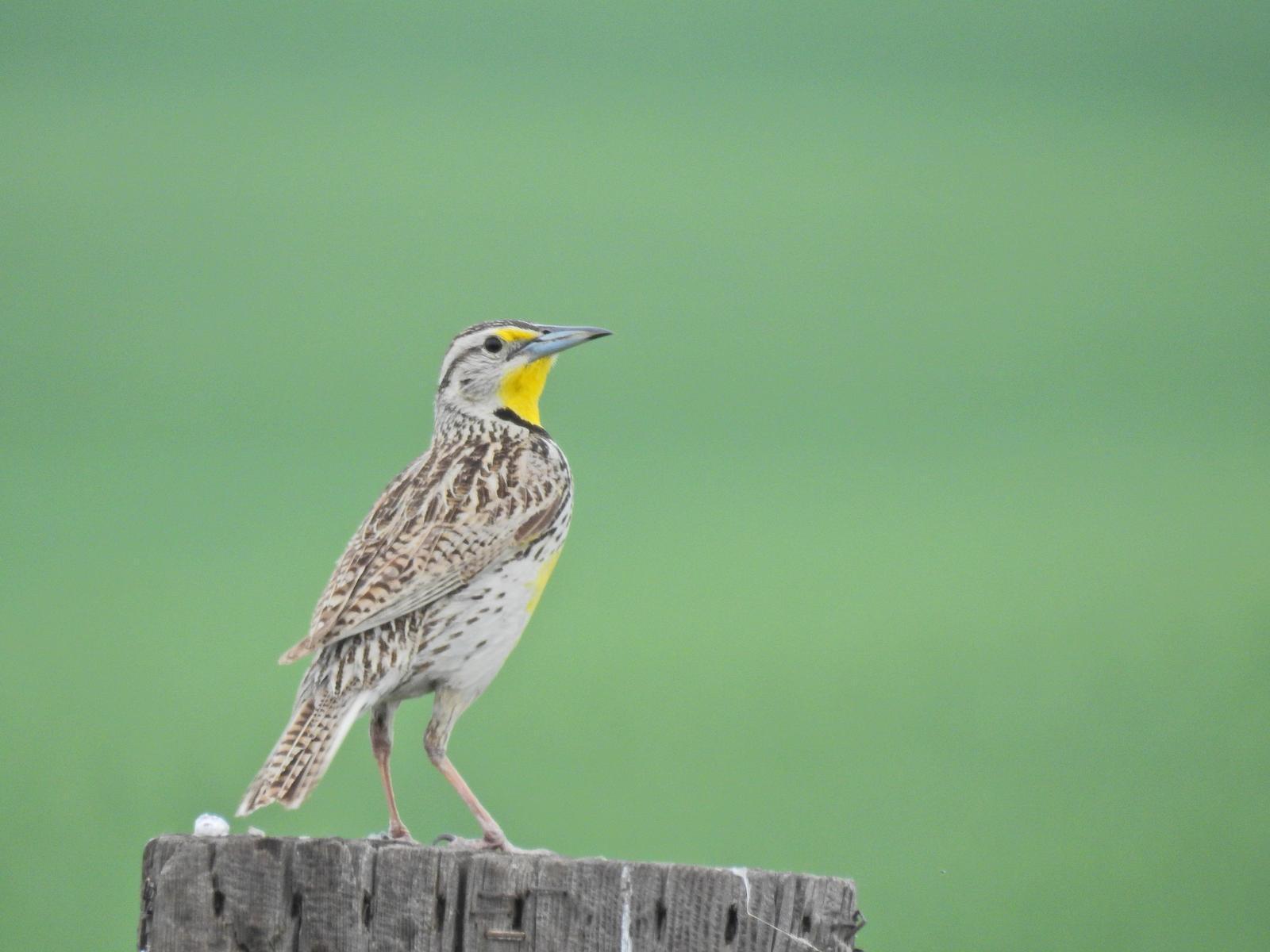 Western Meadowlark Photo by Enid Bachman