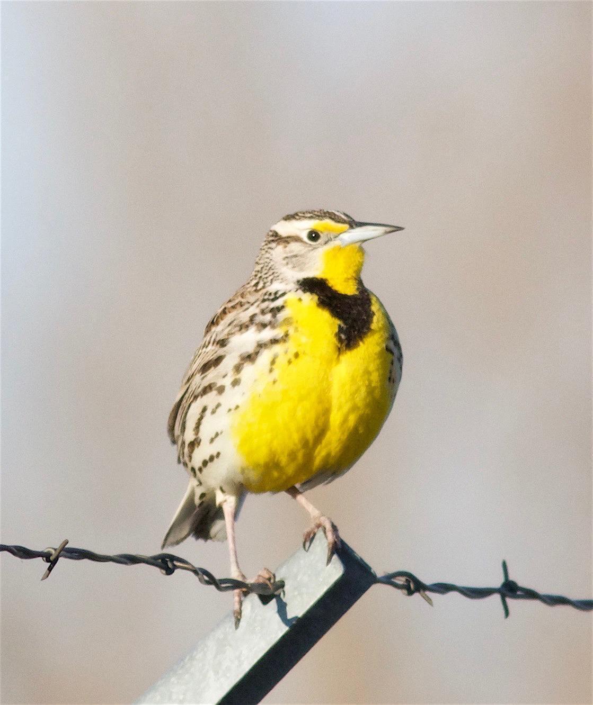 Western Meadowlark Photo by Kathryn Keith
