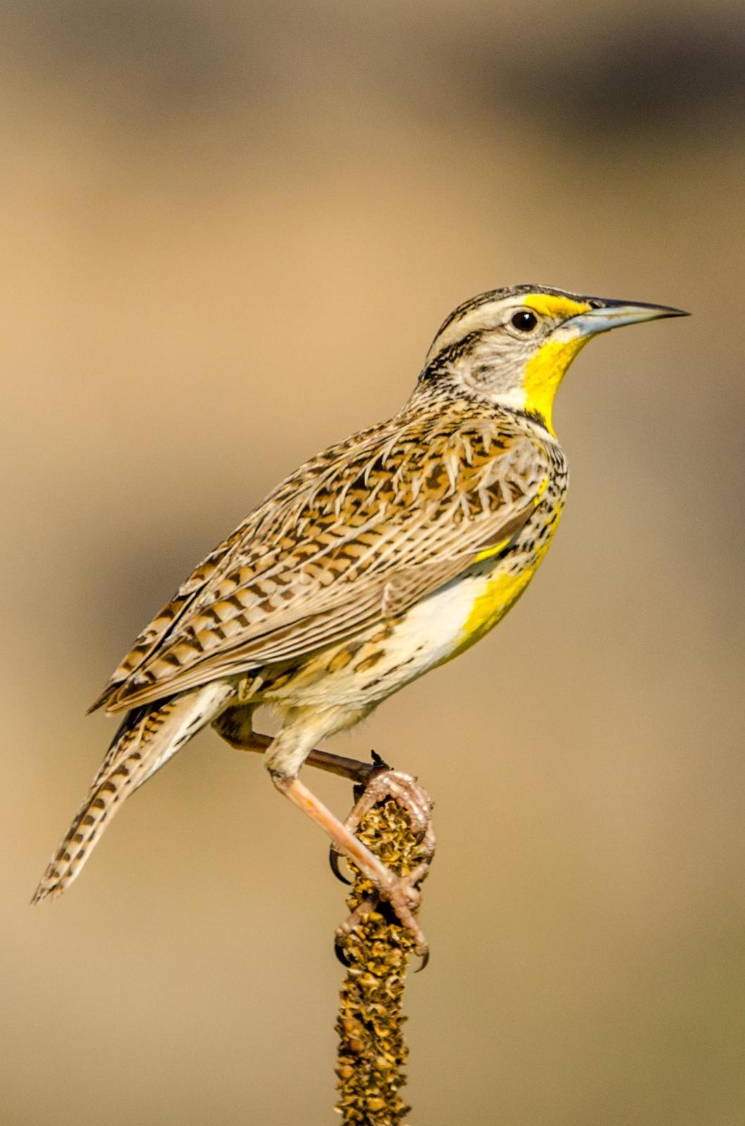 Western Meadowlark Photo by Scott Yerges
