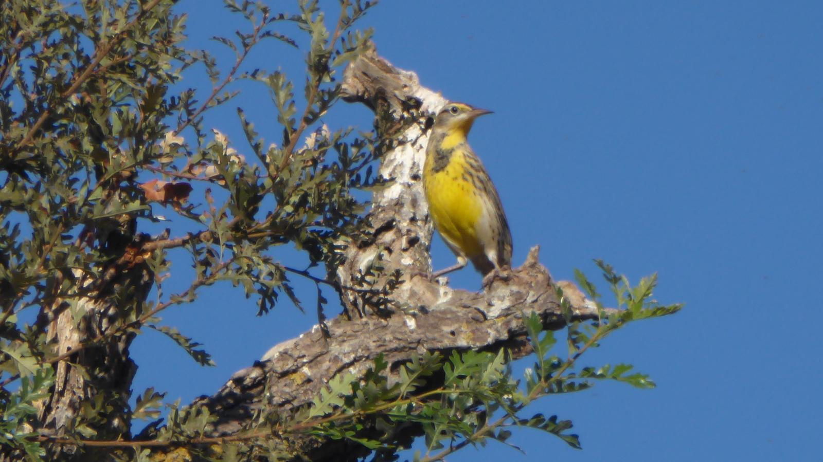 Western Meadowlark Photo by Daliel Leite