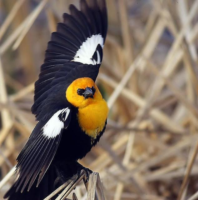 Yellow-headed Blackbird Photo by Dan Tallman