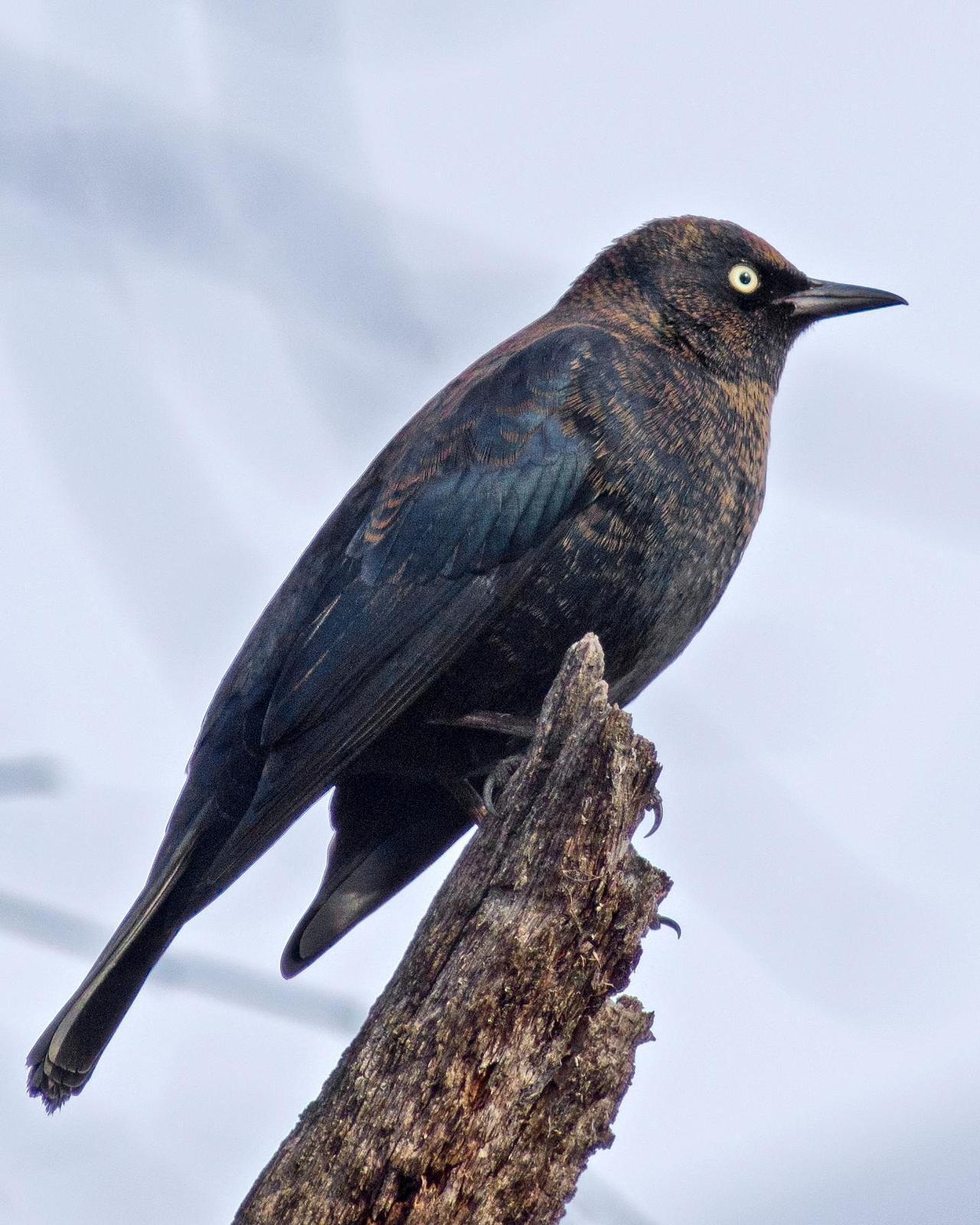 Rusty Blackbird Photo by Rob Dickerson