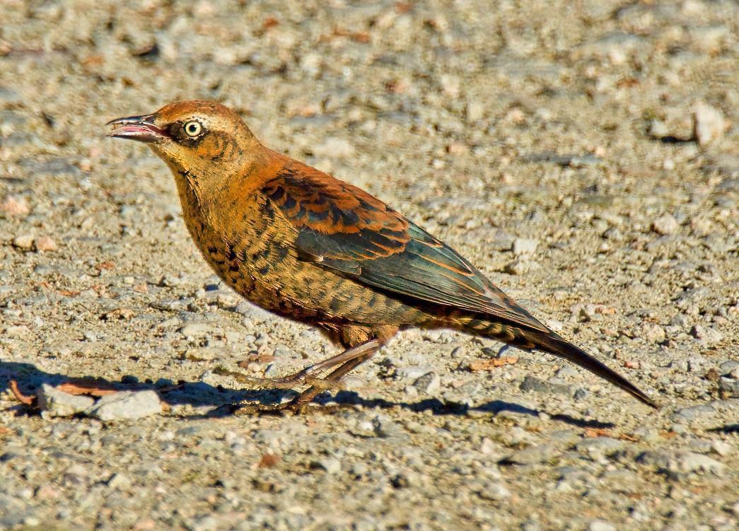 Rusty Blackbird Photo by Brian Avent