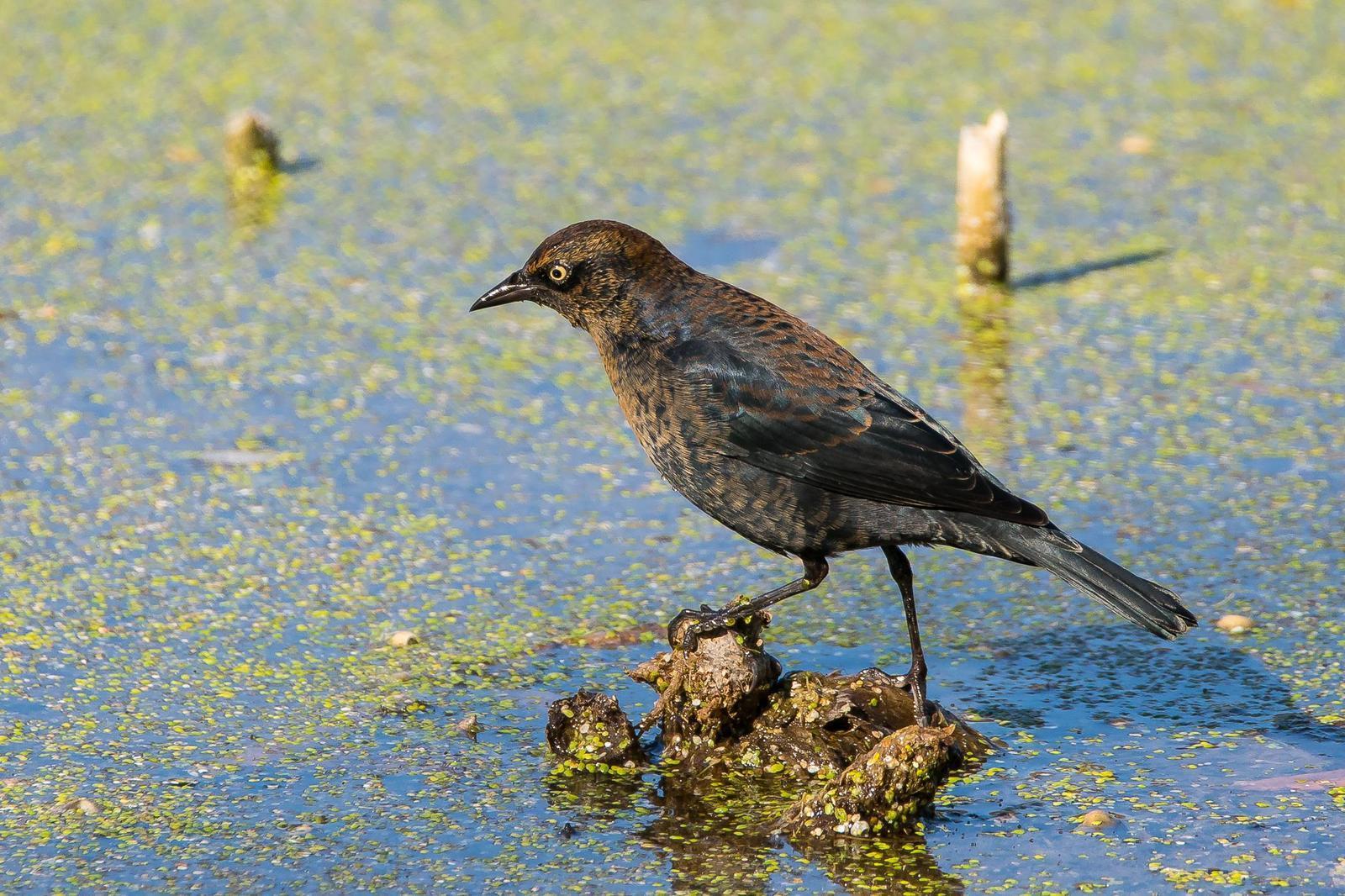 Rusty Blackbird Photo by Gerald Hoekstra