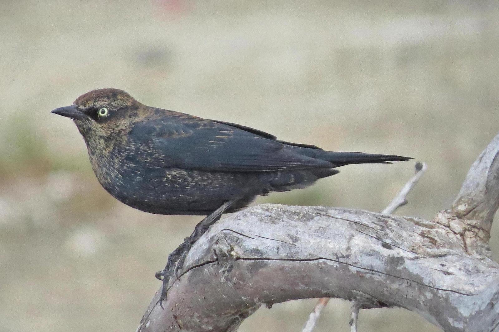 Rusty Blackbird Photo by Enid Bachman
