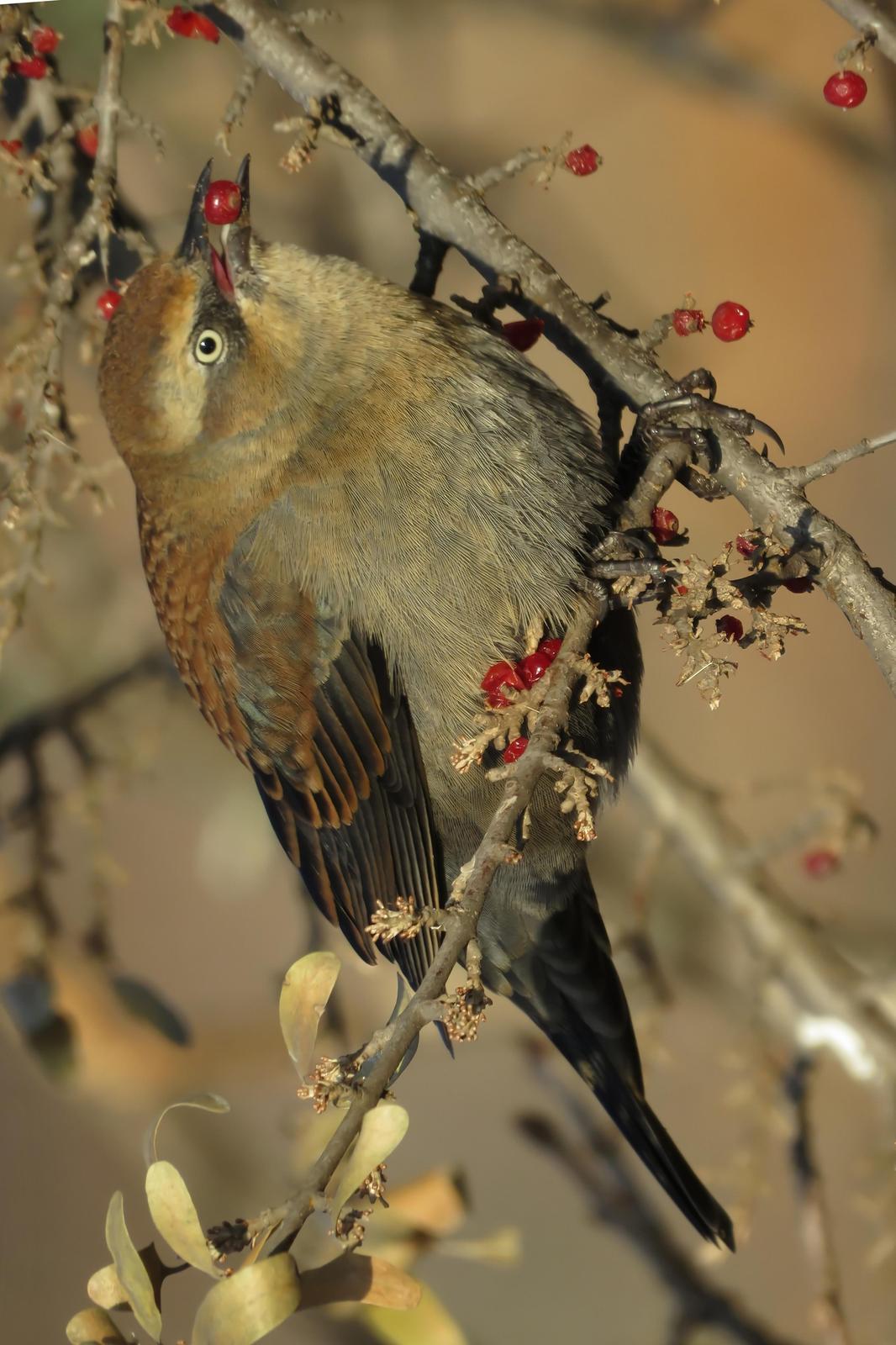 Rusty Blackbird Photo by Bob Neugebauer