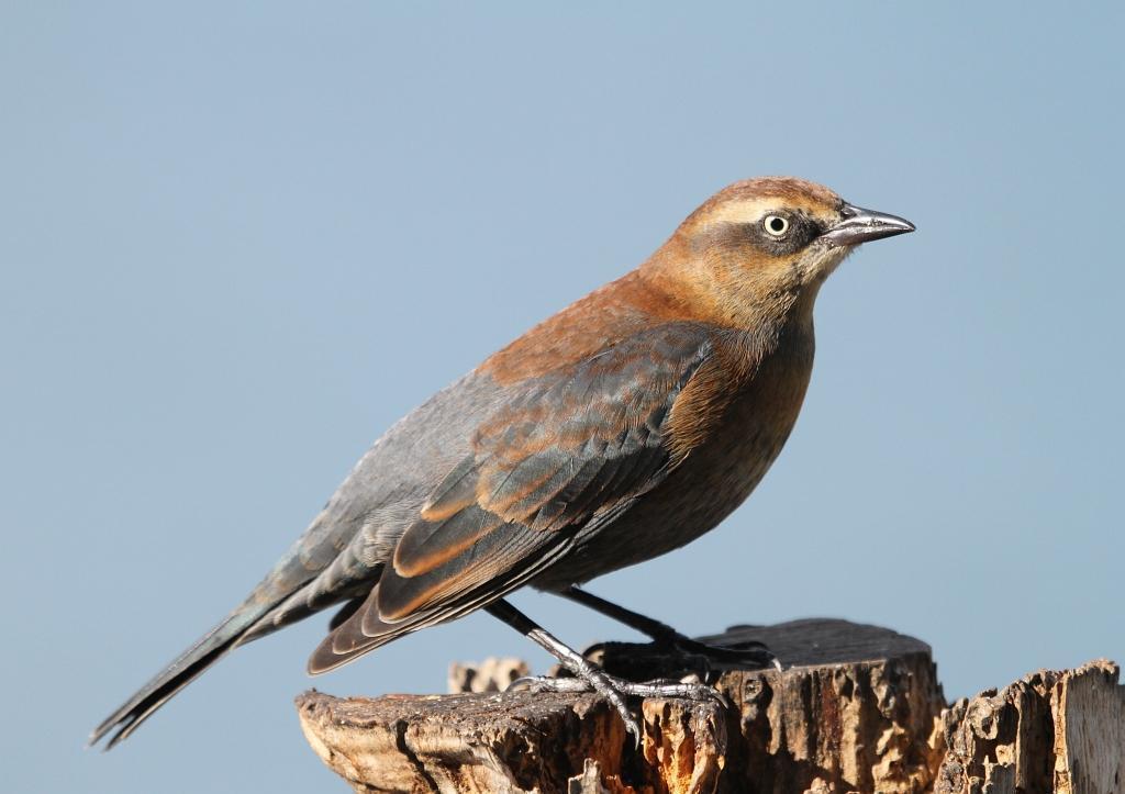 Rusty Blackbird Photo by Vicki Miller