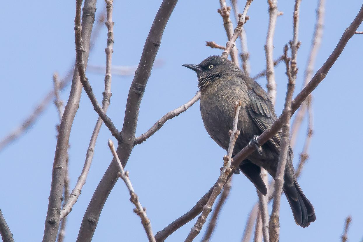 Rusty Blackbird Photo by Gerald Hoekstra