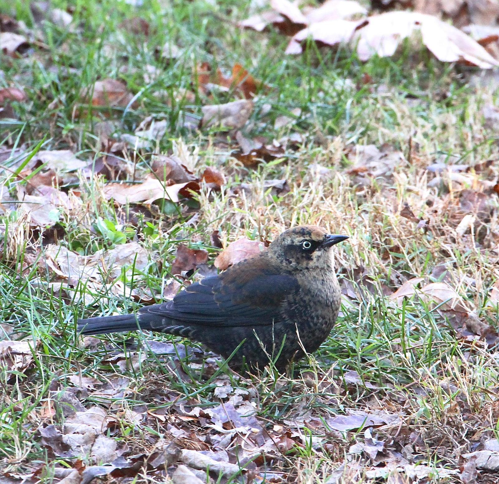 Rusty Blackbird Photo by Kim Beard