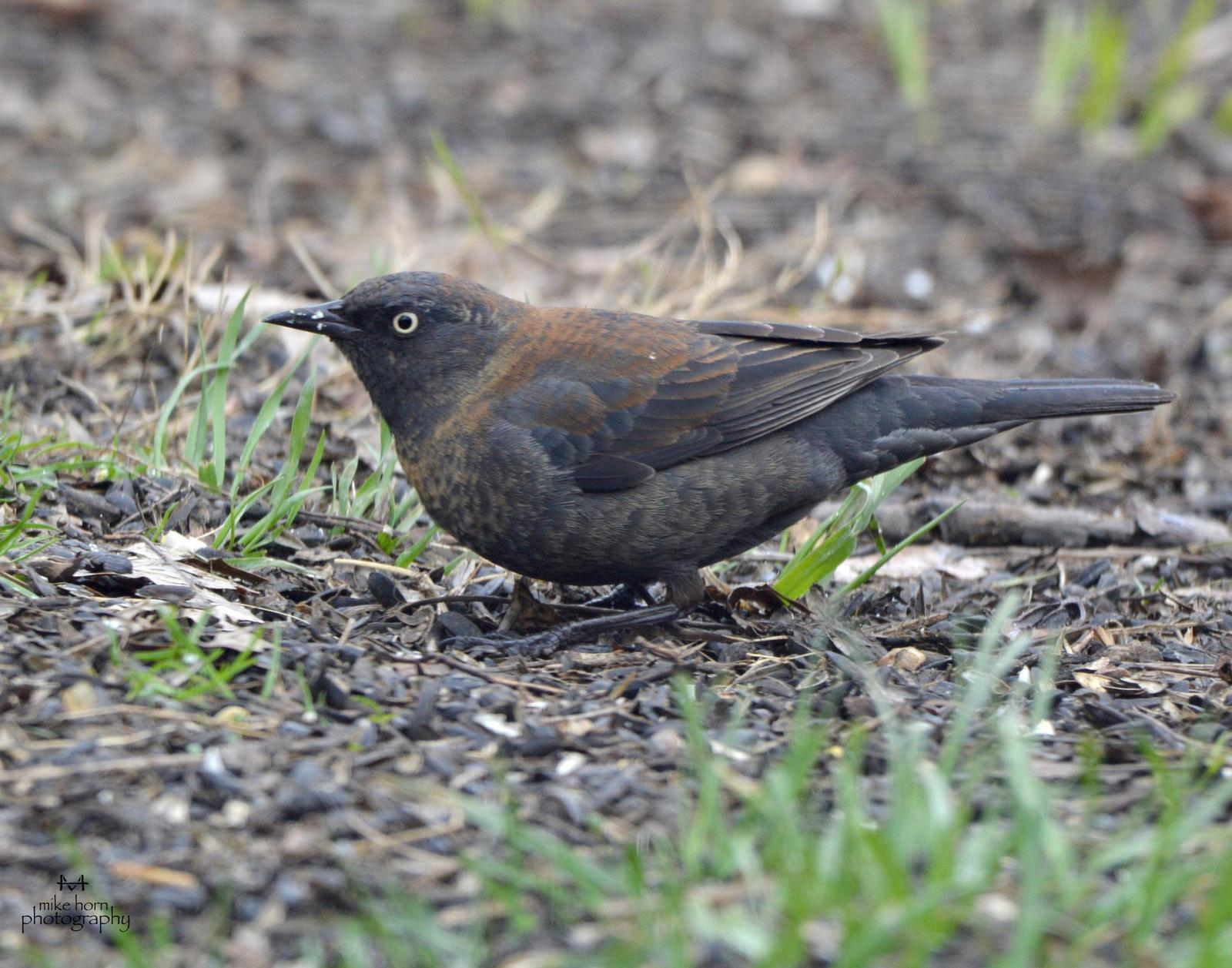 Rusty Blackbird Photo by Michael Horn