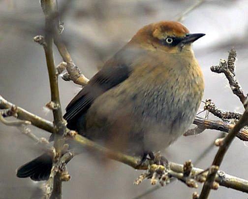 Rusty Blackbird Photo by Dan Tallman