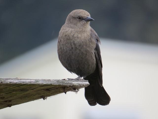 Brewer's Blackbird Photo by Don Glasco