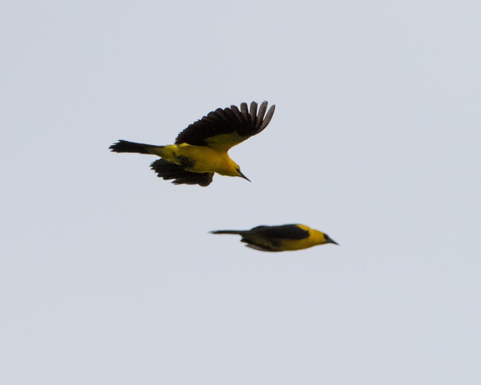 Oriole Blackbird Photo by Harold Davis