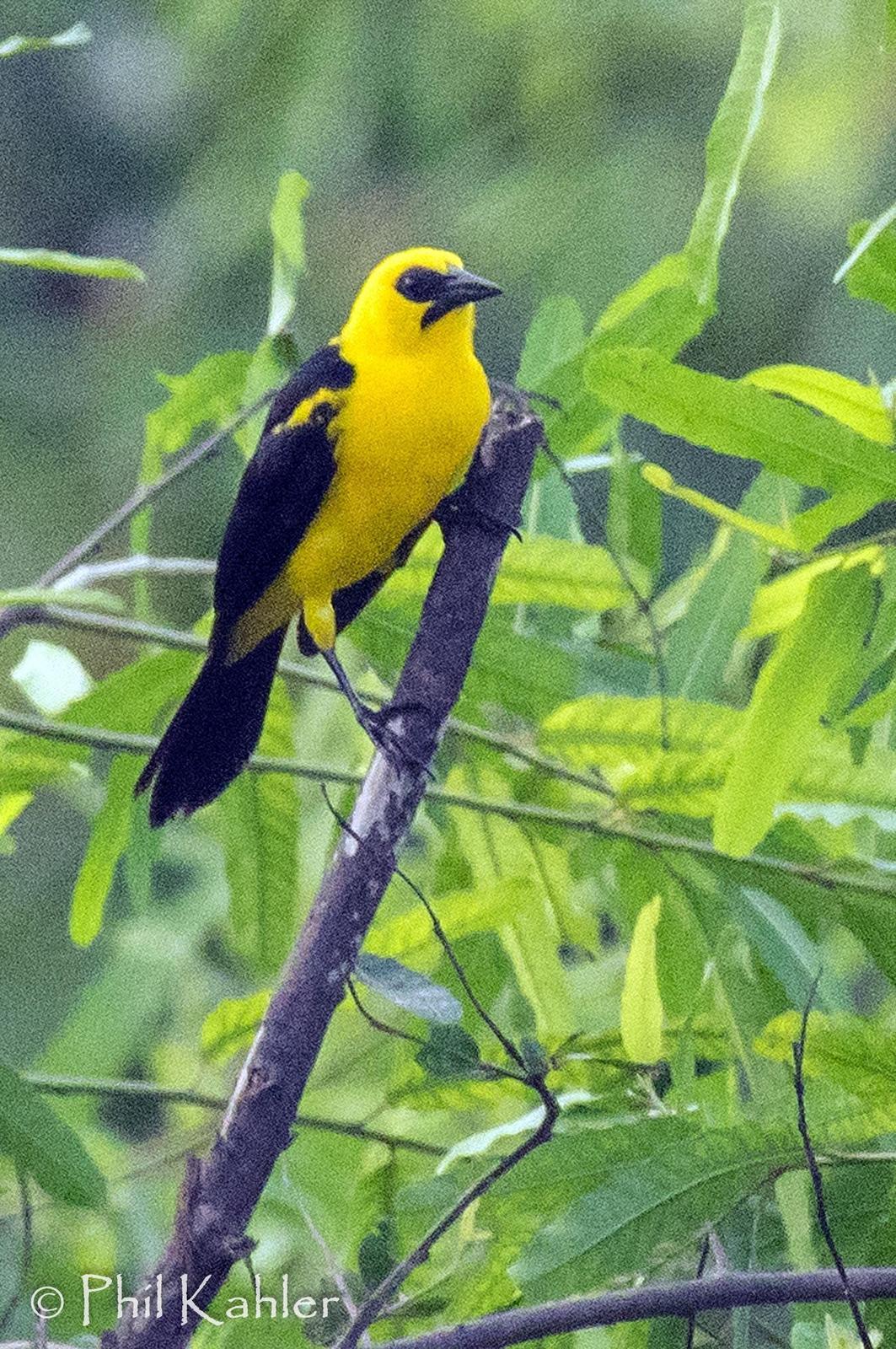 Oriole Blackbird Photo by Phil Kahler