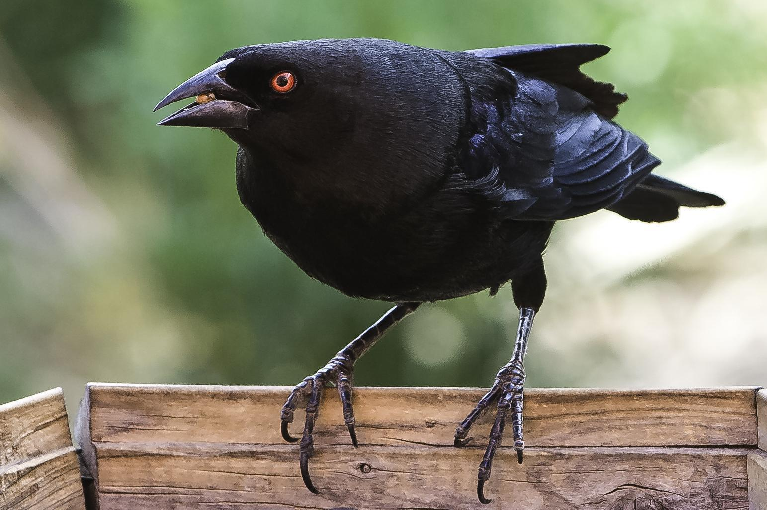 Bronzed Cowbird Photo by Mason Rose