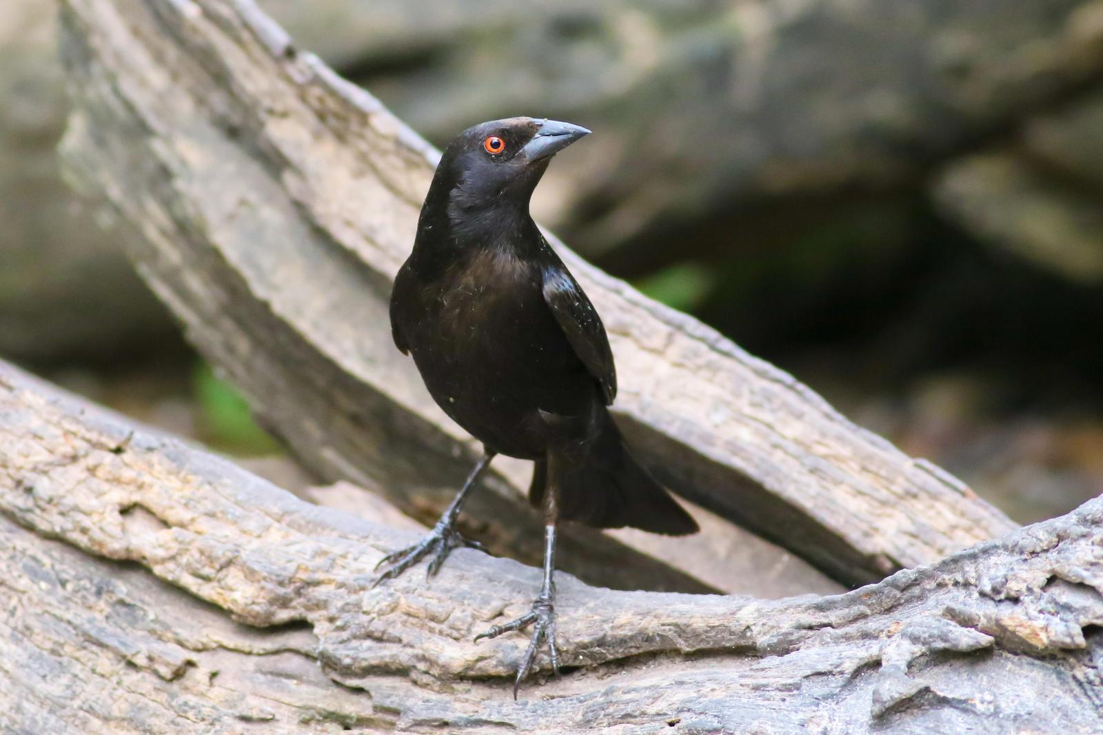 Bronzed Cowbird Photo by Tom Ford-Hutchinson