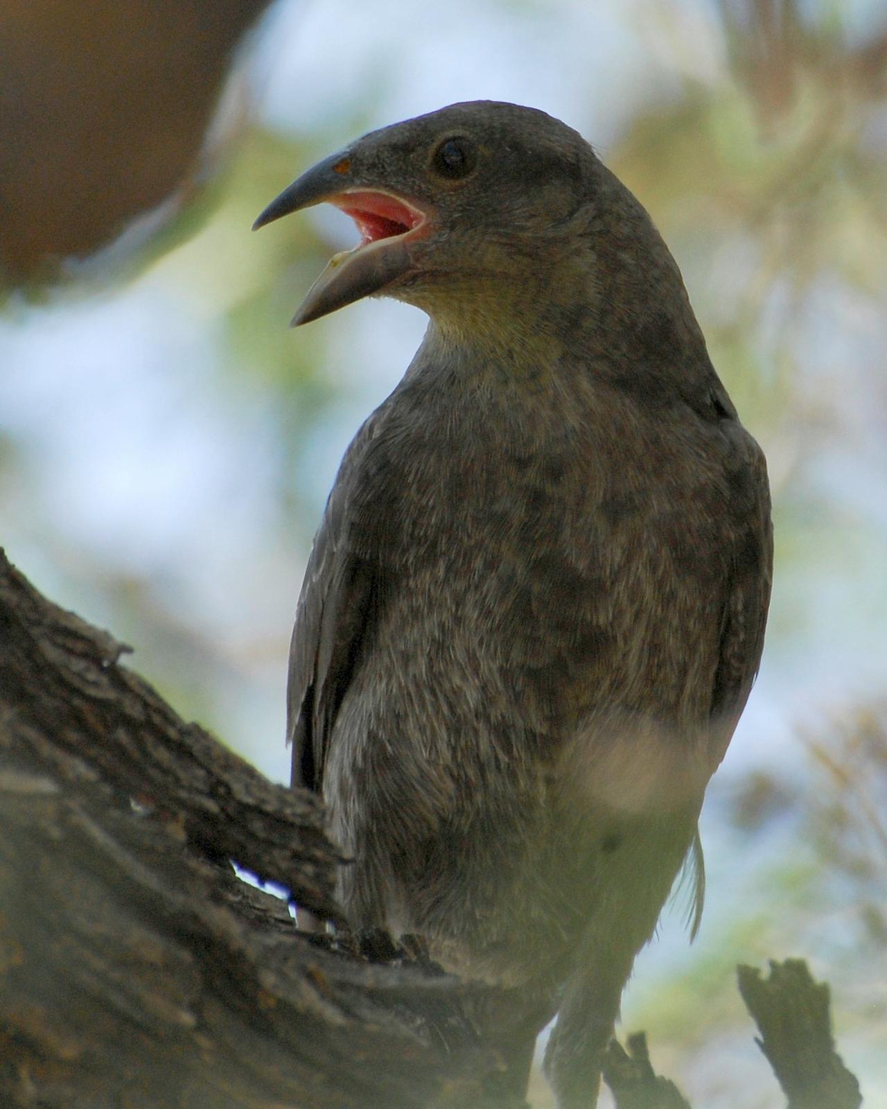 Bronzed Cowbird Photo by David Hollie