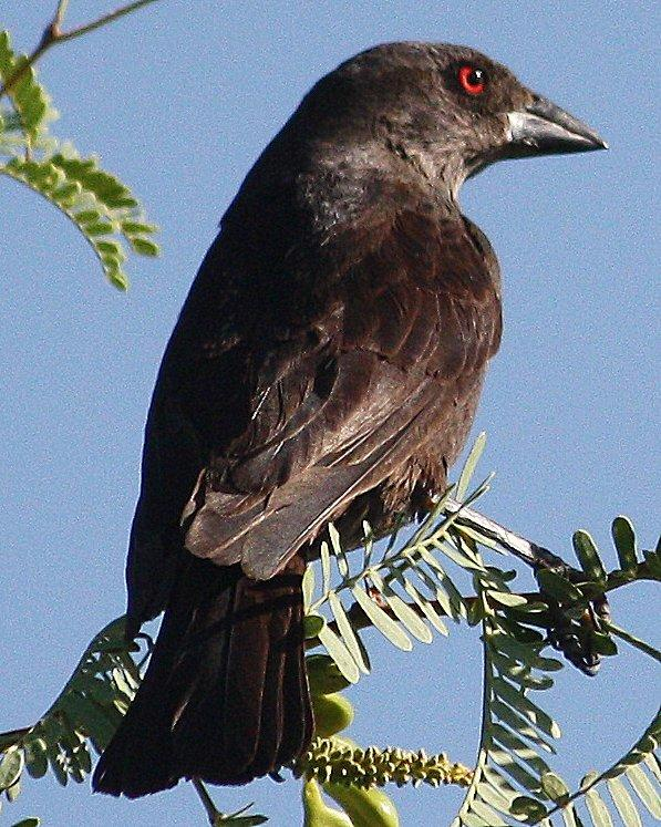 Bronzed Cowbird Photo by Andrew Core