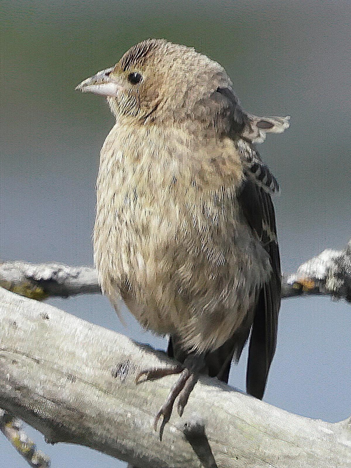Brown-headed Cowbird Photo by Dan Tallman