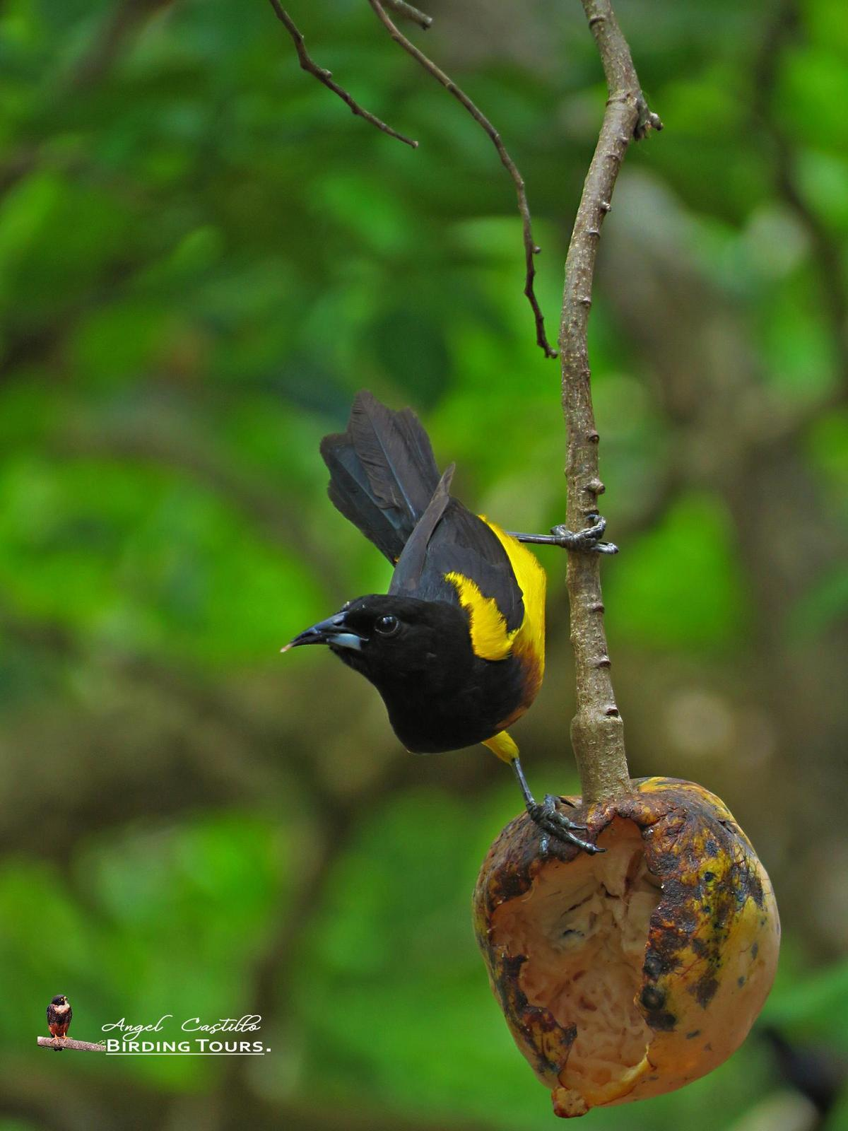 Black-cowled Oriole Photo by Castillo Cime