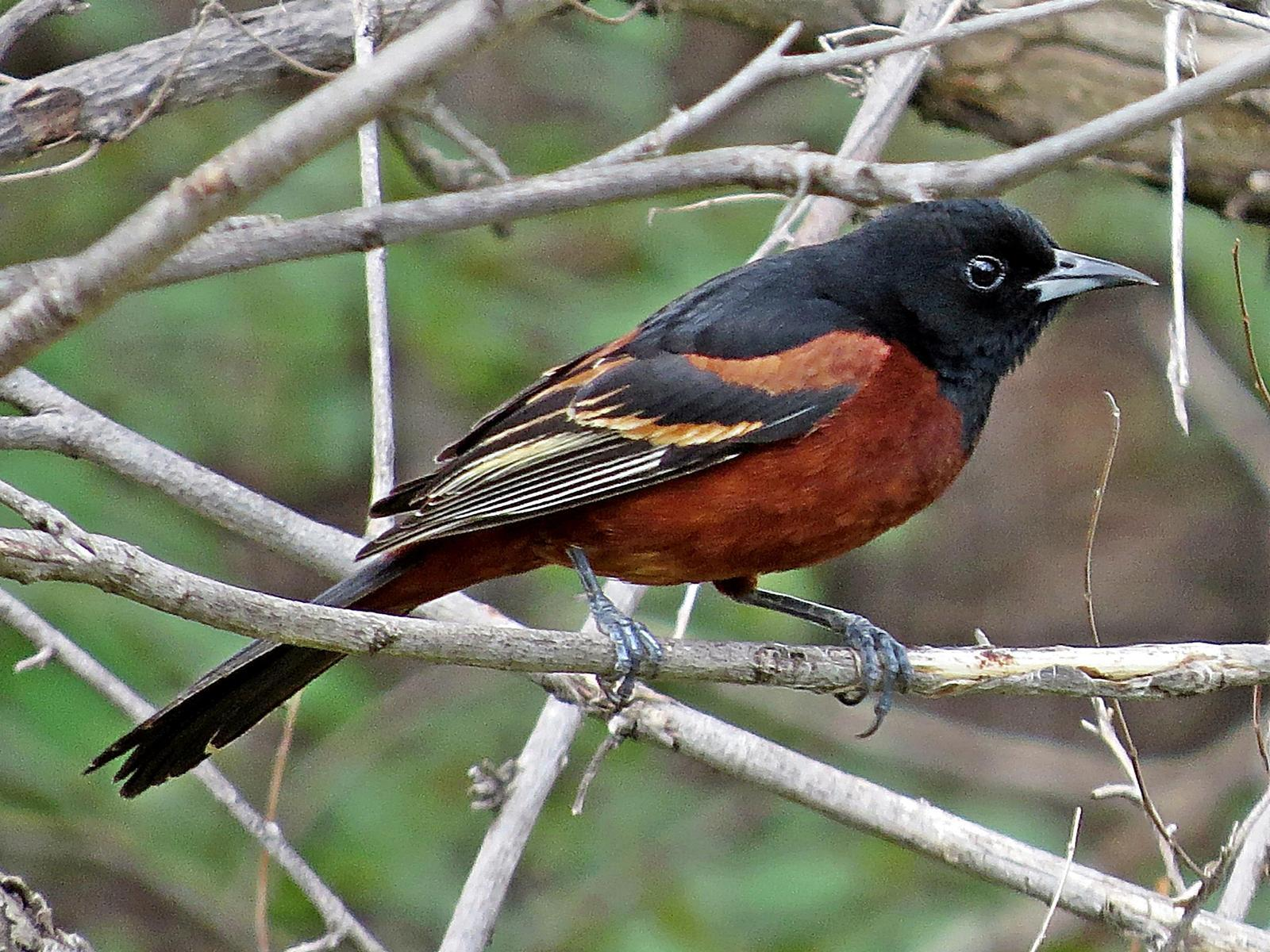 Orchard Oriole Photo by Bob Neugebauer