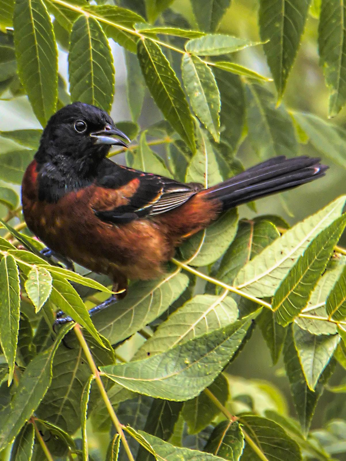 Orchard Oriole Photo by Dan Tallman