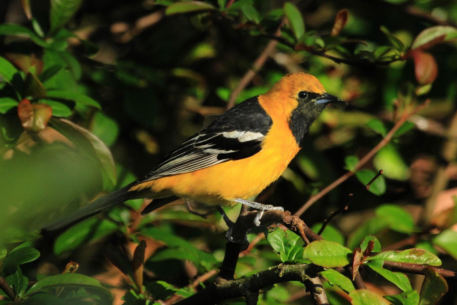 Hooded Oriole Photo by Donna Pomeroy