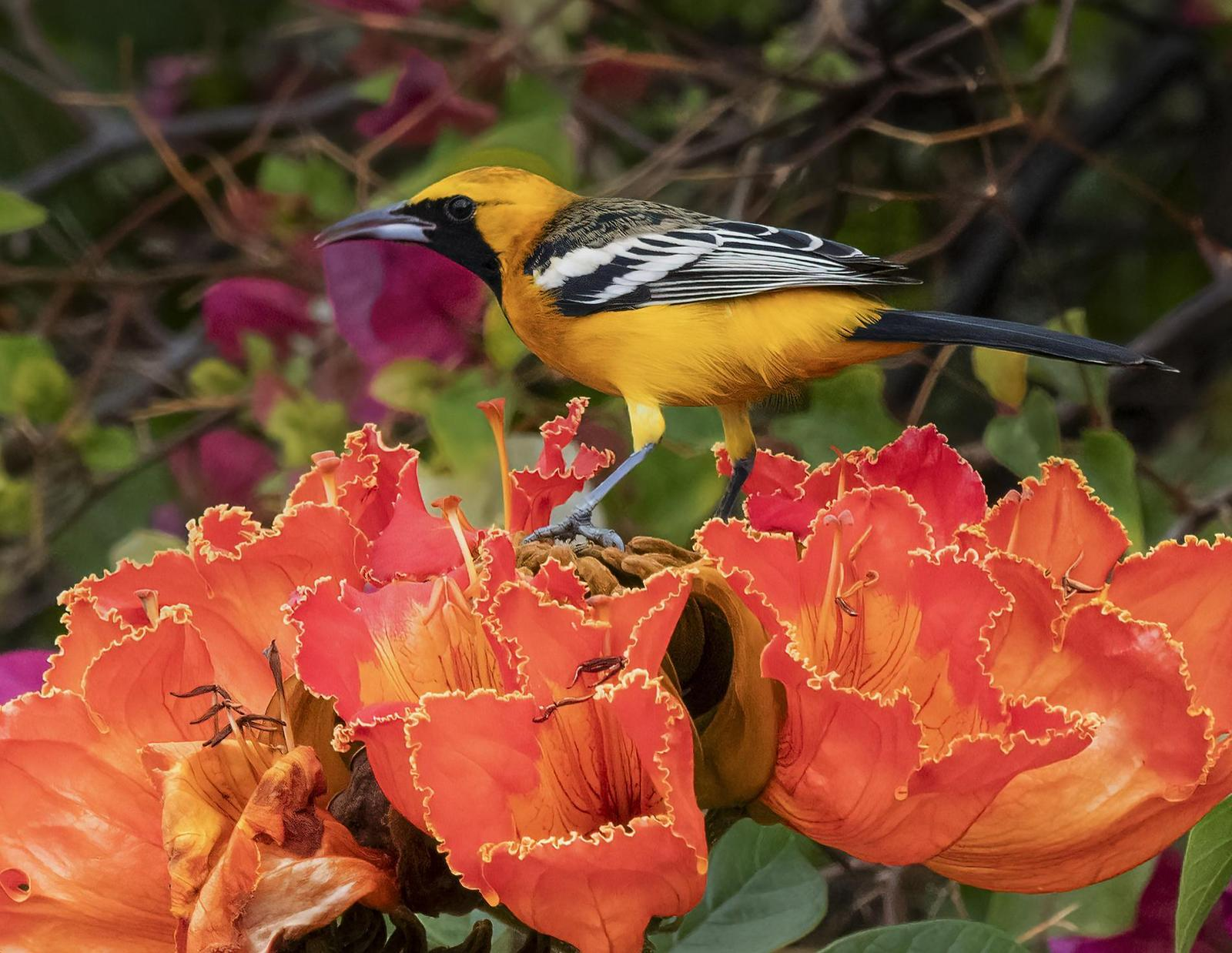 Hooded Oriole Photo by Mike Liskay