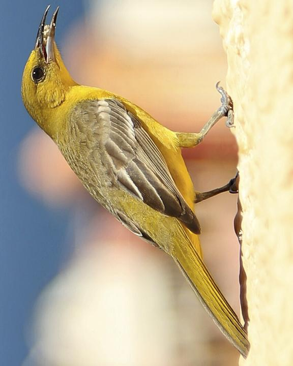 Hooded Oriole Photo by Anthony Gliozzo