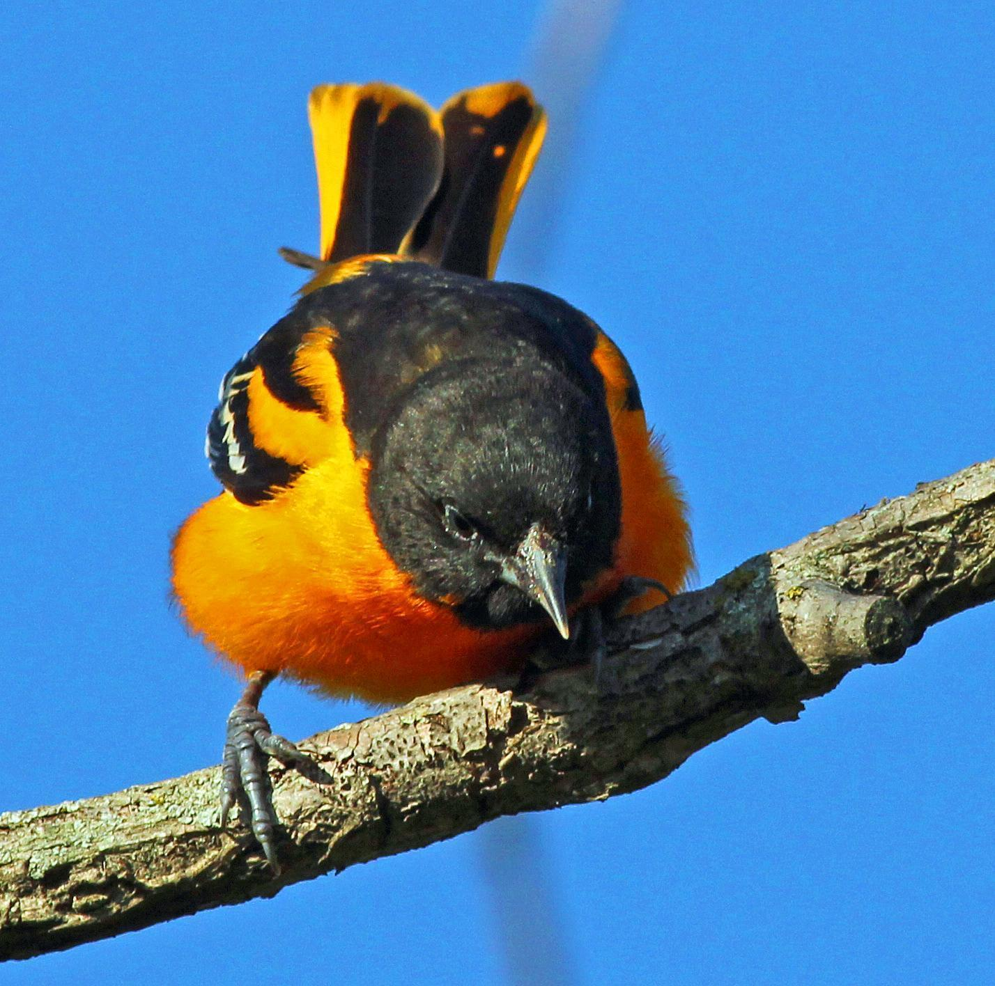 Baltimore Oriole Photo by Tom Gannon