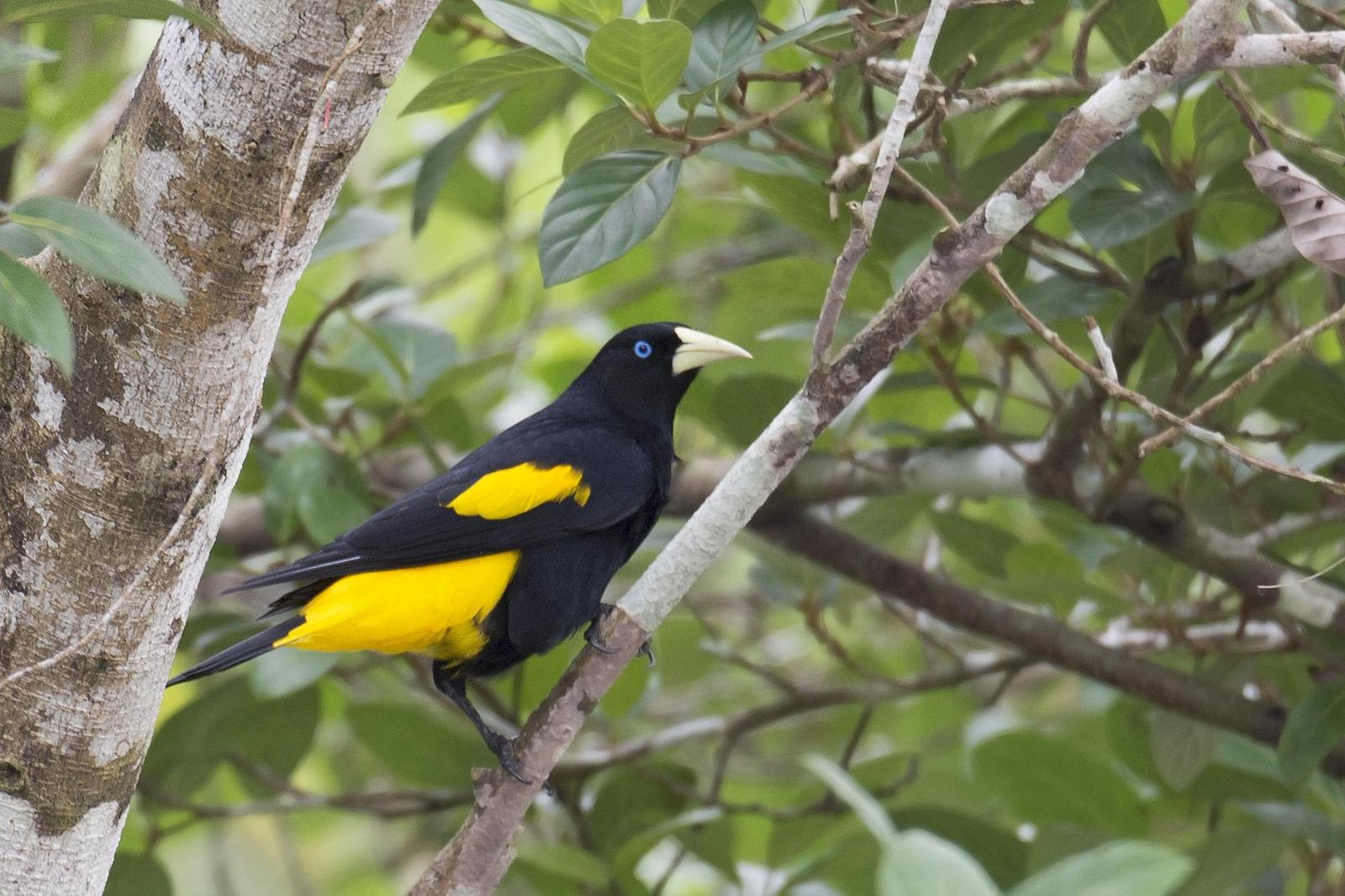 Yellow-rumped Cacique Photo by Debra Herst