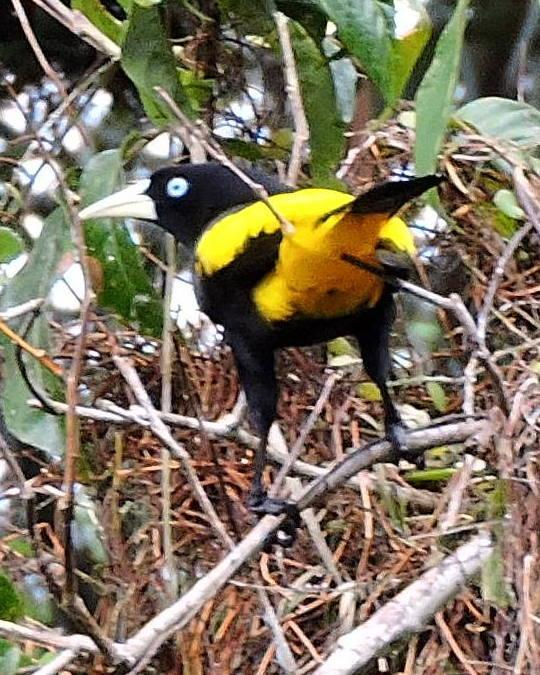 Yellow-rumped Cacique Photo by Peter Lowe