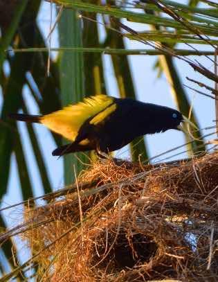 Yellow-rumped Cacique Photo by Andrew Pittman