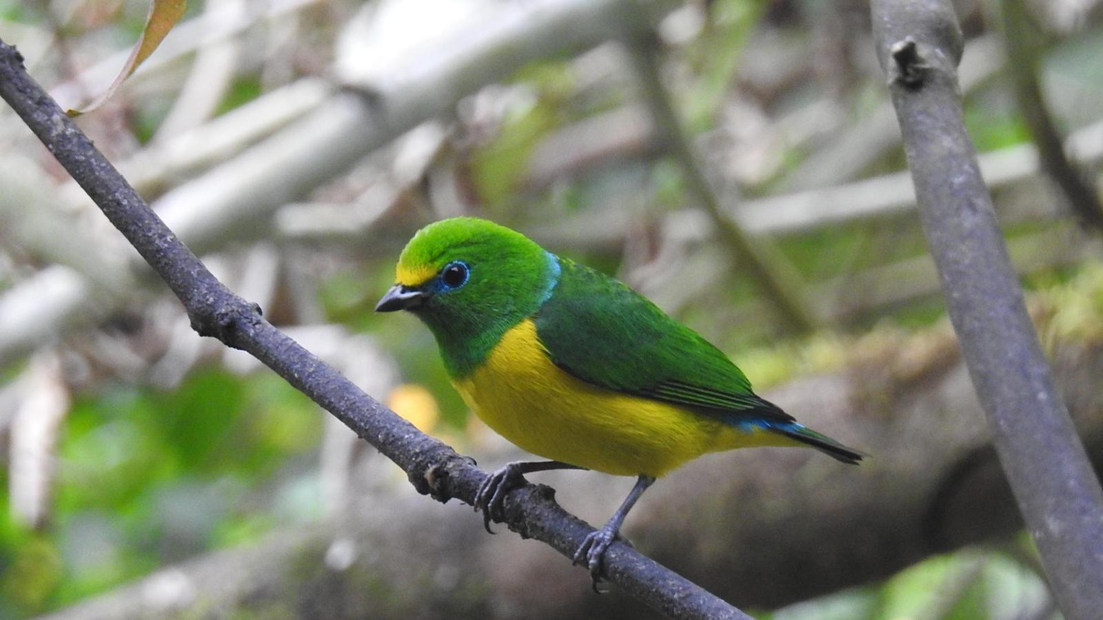 Blue-naped Chlorophonia Photo by Julio Delgado