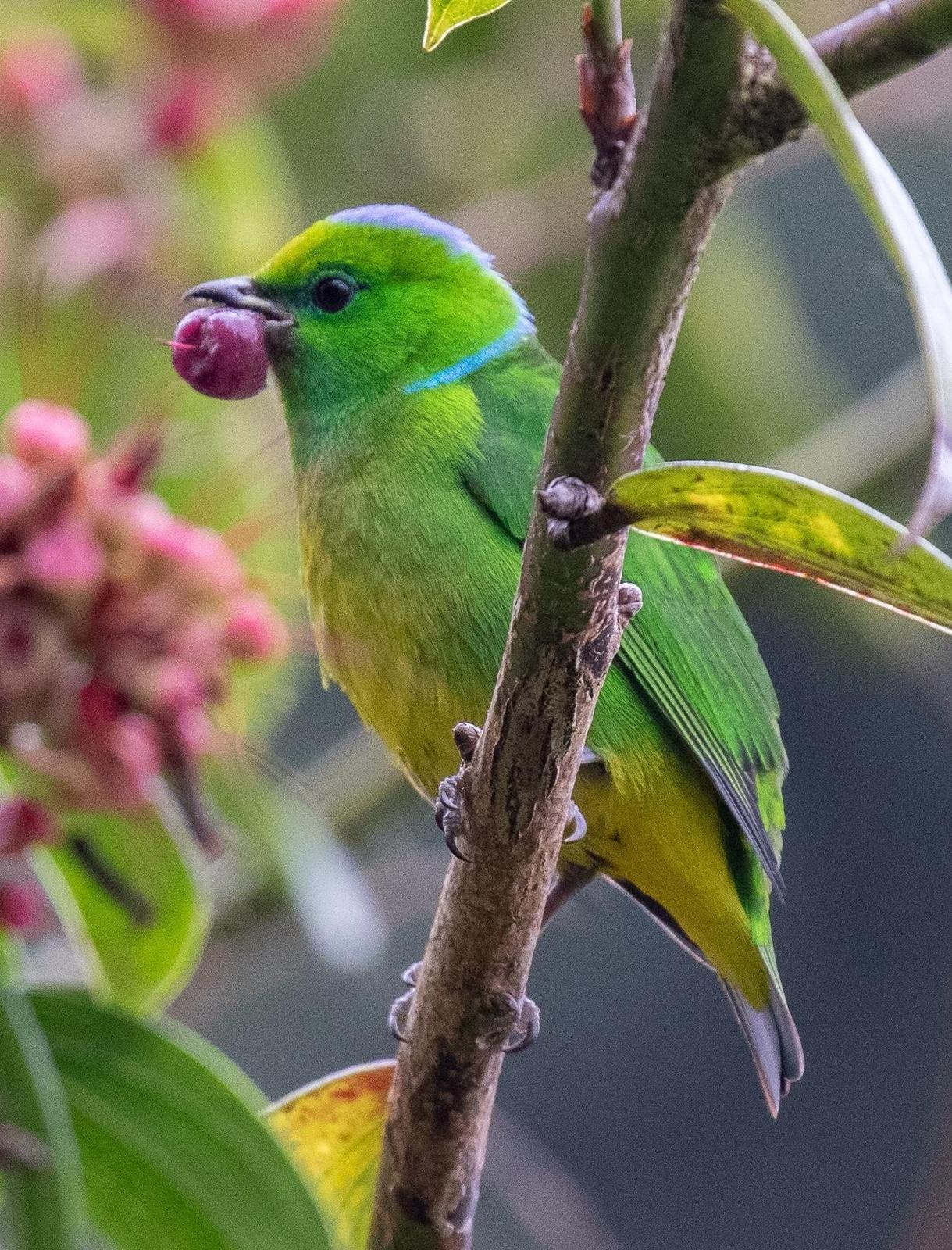 Golden-browed Chlorophonia Photo by Kate Persons