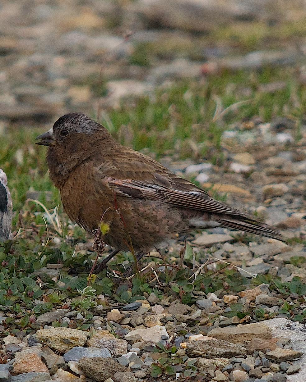 Gray-crowned Rosy-Finch Photo by Gerald Hoekstra