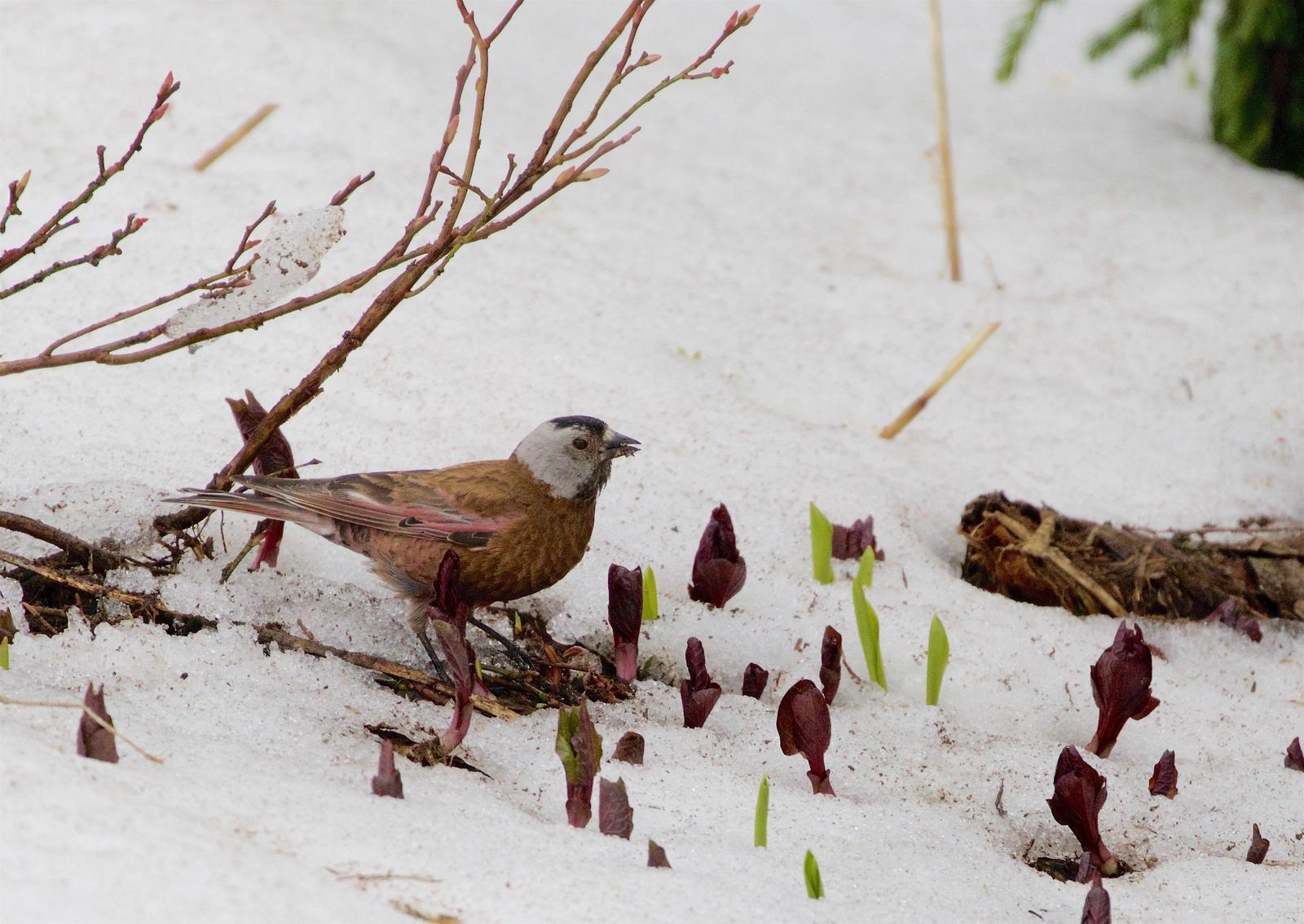 Gray-crowned Rosy-Finch Photo by Kathryn Keith