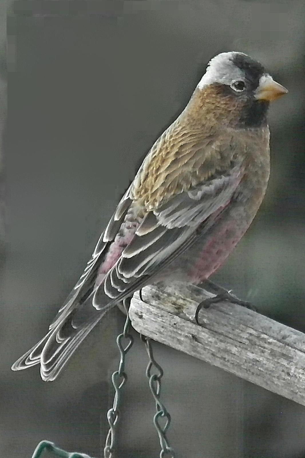 Gray-crowned Rosy-Finch Photo by Enid Bachman