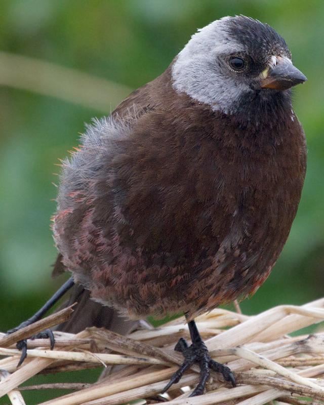 Gray-crowned Rosy-Finch Photo by Ashley Bradford