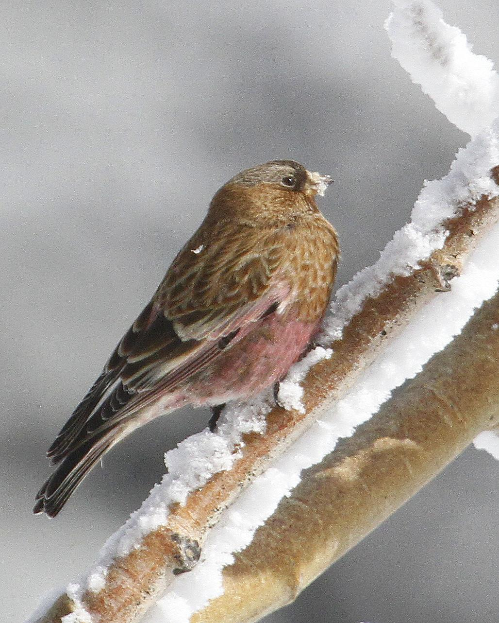 Brown-capped Rosy-Finch Photo by Isaac Sanchez