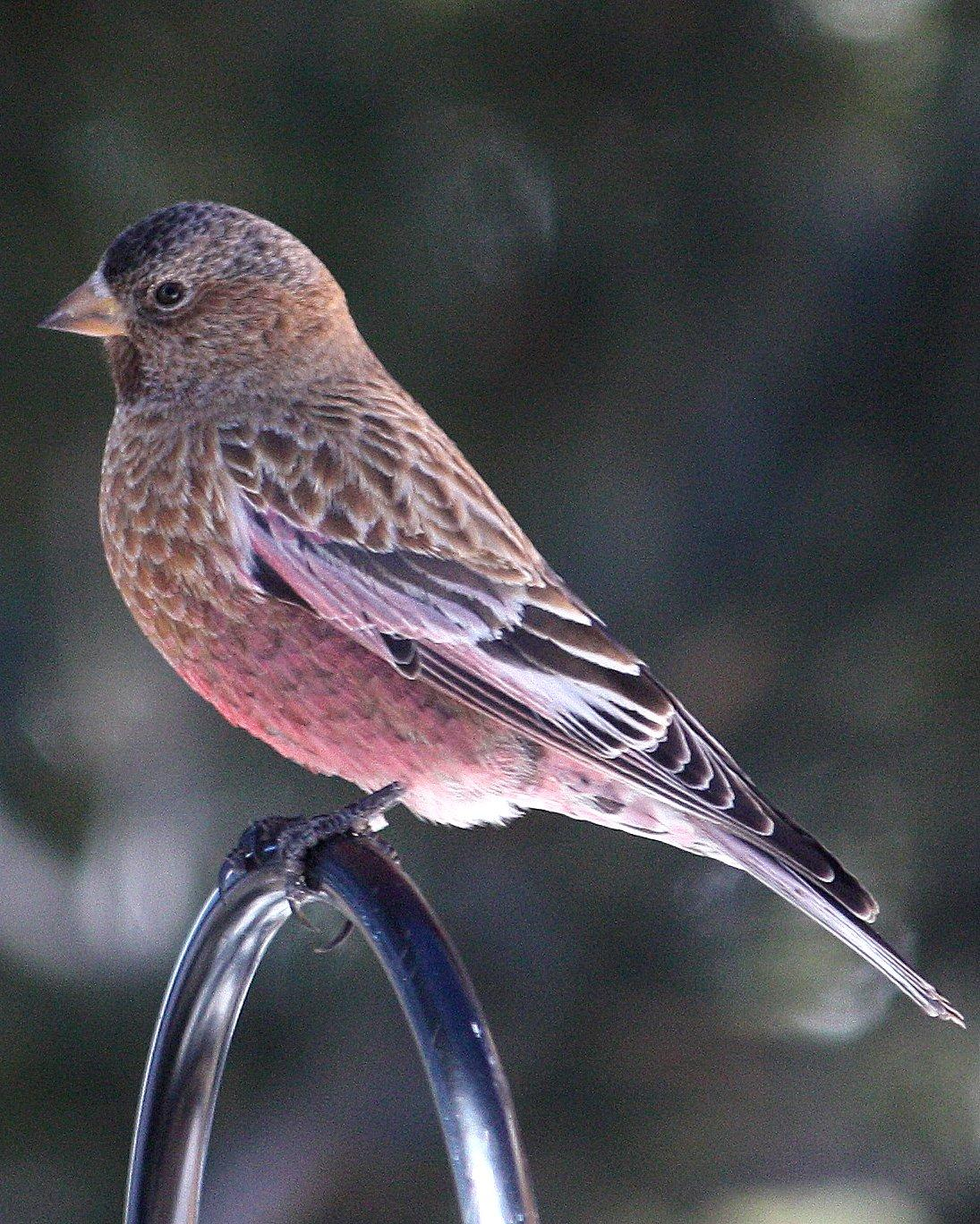 Brown-capped Rosy-Finch Photo by Andrew Core