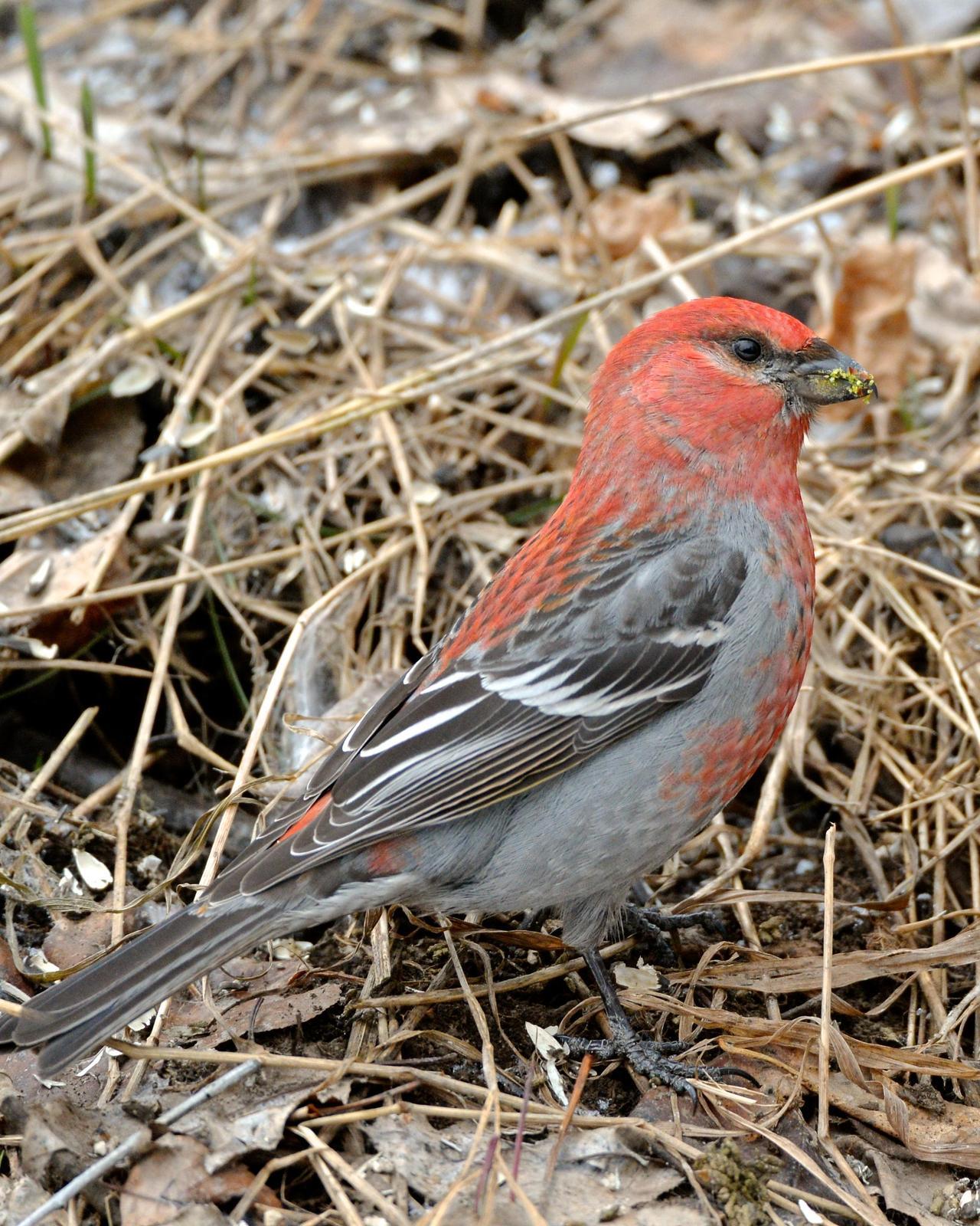 Pine Grosbeak Photo by Gerald Friesen