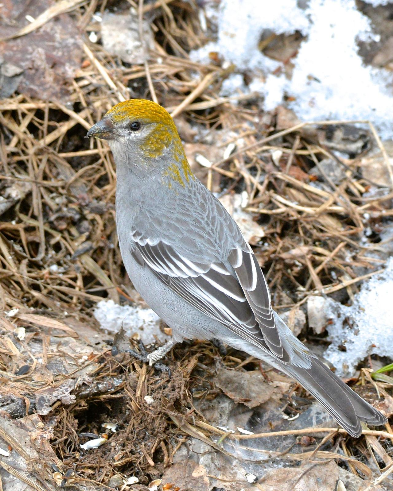 Pine Grosbeak Photo by Gerald Friesen
