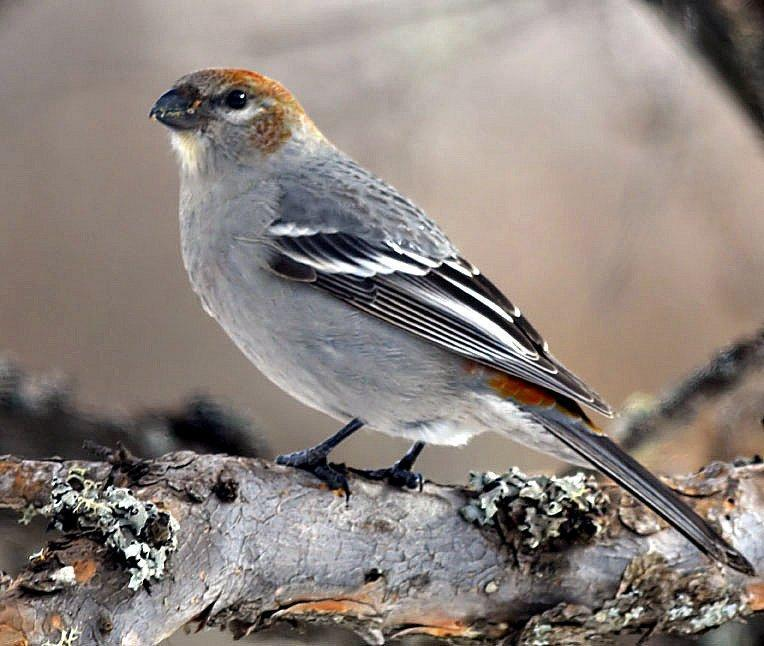 Pine Grosbeak Photo by Dan Tallman