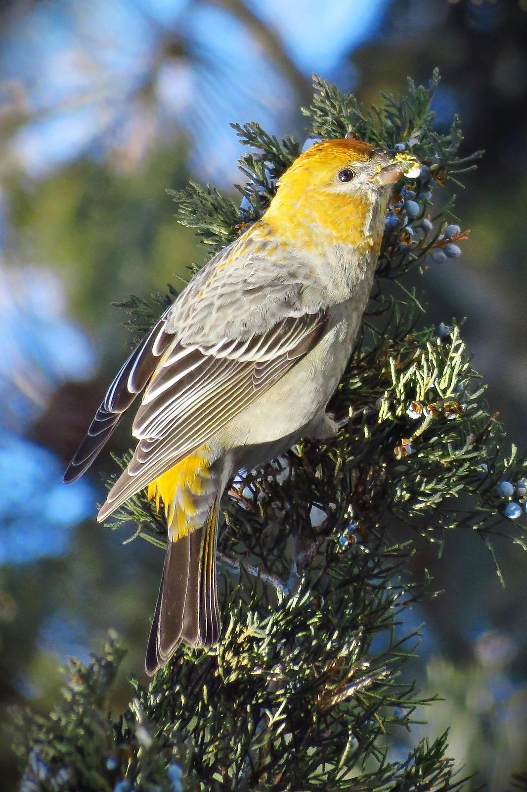 Pine Grosbeak Photo by Bob Neugebauer