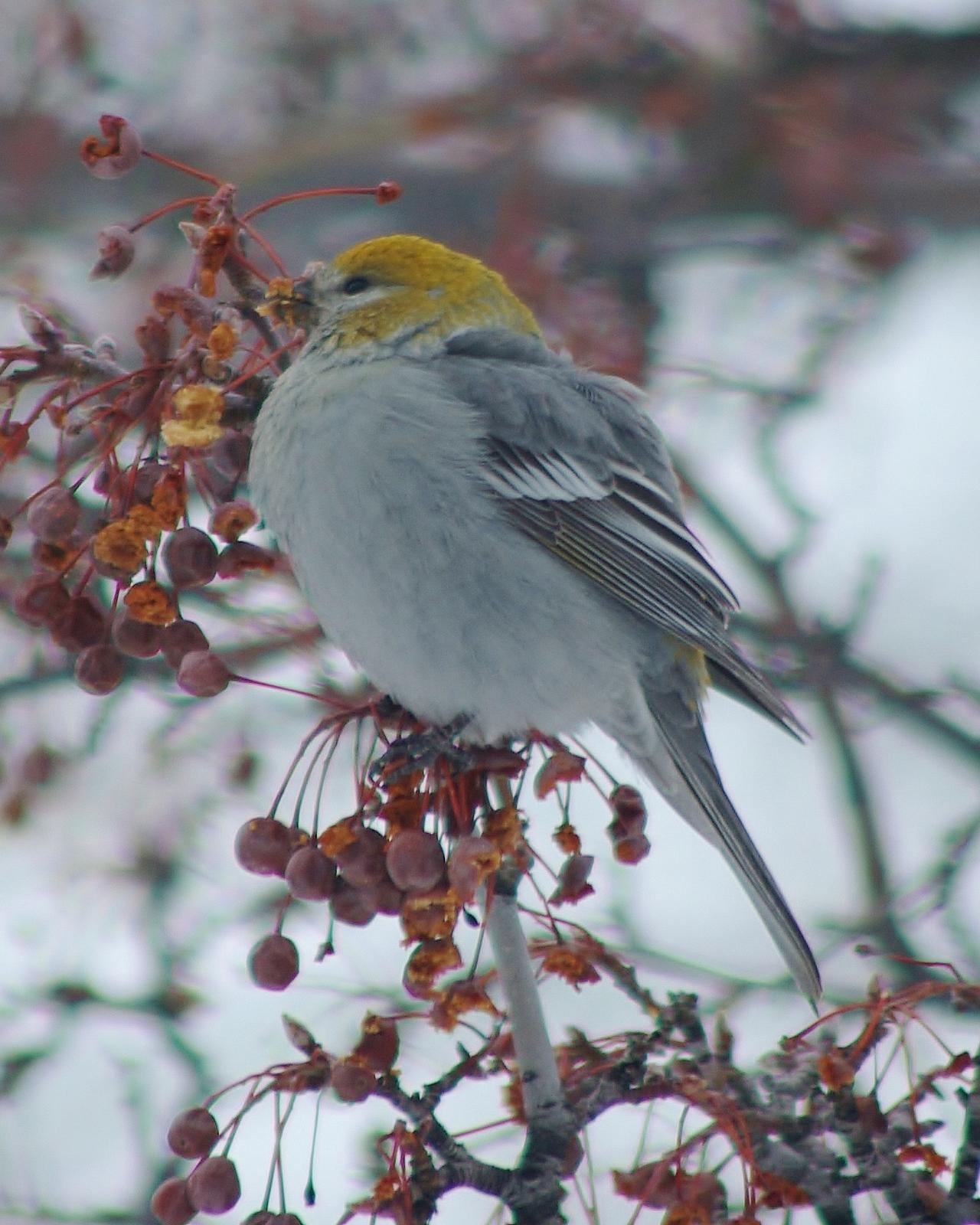 Pine Grosbeak Photo by Leah R. Lewis