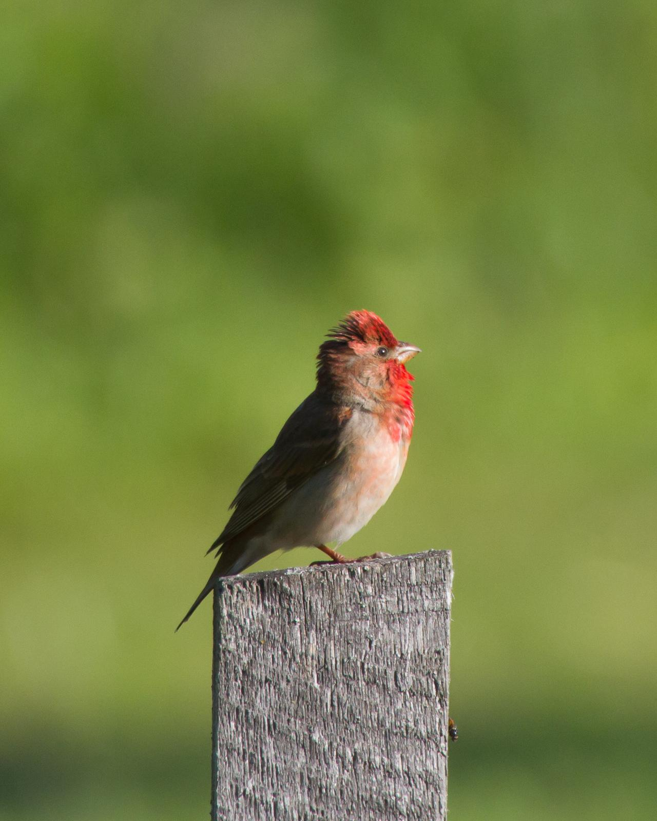 Common Rosefinch Photo by Kasia  Ganderska Someya