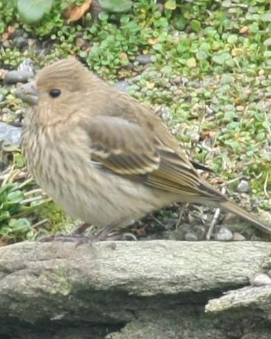 Common Rosefinch Photo by Monte Taylor